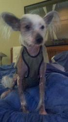 15 lb Chinese Crested wearing XS male dog diaper
