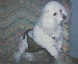 Jake (17 yrs)  is 13 lbs. wearing  a size XS male dog diaper