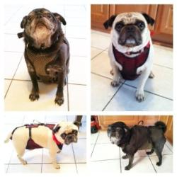 Onyx & Tanner (Pugs) wearing dog diapers
